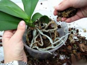 Пересадка орхидеи каттлея