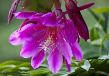 Листовидный кактус эпифиллум