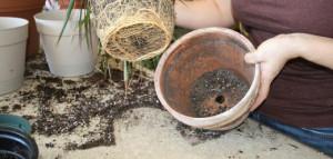 Способы пересадки комнатного растения бугенвиллия