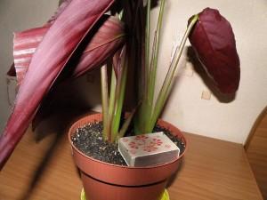 Как ухаживать за комнатным растением строманта
