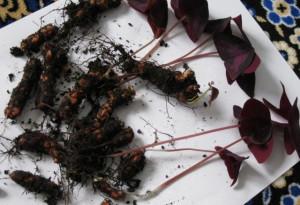 Посадка оксалиса и размножение