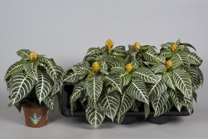Способы размножение комнатного цветка афеландра