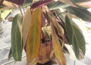 Листья строманты желтеют и засыхают