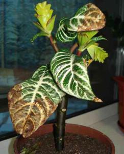 У афеландры сохнут листья