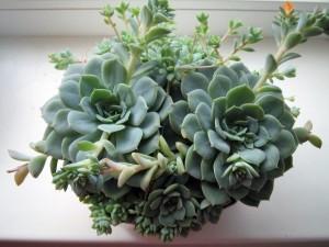 Уход за растением эхеверия