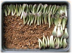 Размножение комнатного цветка эхеверия