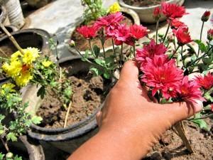 Хранение хризантем зимой