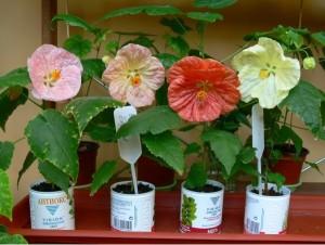 Размножение и выращивание комнатного растения абутилон