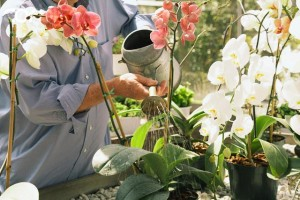 Полив орхидей дендробиум