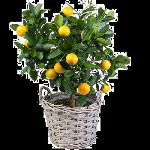 Лимон уход в домашних условиях