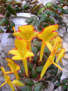 Температура выращивания домашнего растения колумнея