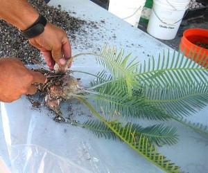Пересадка цикаса, его посадка и размножение