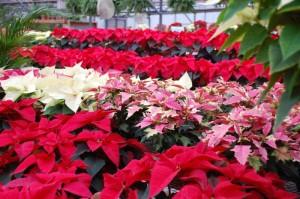 Температура для выращивания растения пуансетия