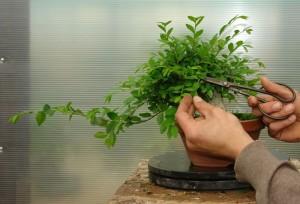 Обрезка дерева бансай