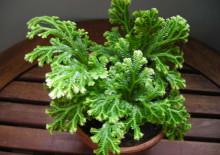 Комнатное растение селагинелла