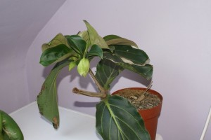 Болезни и вредители у комнатного растения мединилла