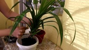 Пересадка комнатного растения панданус