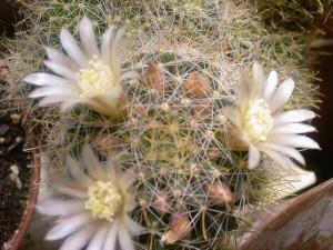 Фото кактуса маммилярия