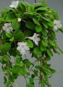 Как ухаживать за растением эписция
