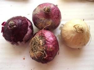 Выбор здоровой луковицы гиацинтов
