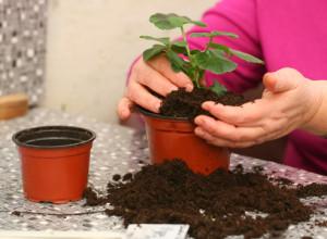 Почва для кальцеолярии