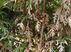 Болезни селагинеллы - темнеют и отмирают листья
