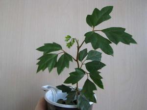 Уход за растением циссус