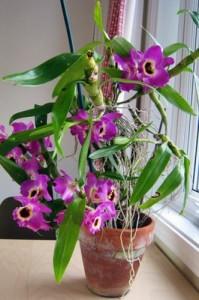 Выбор месторасположения для орхидеи дендробиум