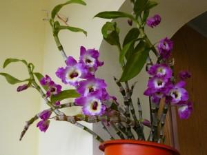 Периоды вегетации орхидеи дендробиум