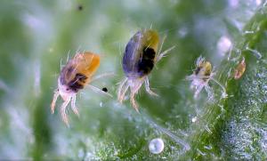 Паутинный клещ на растении агератум