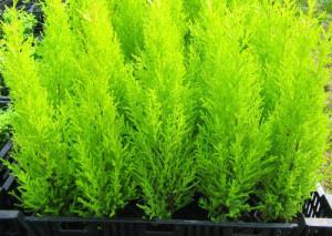 Способы размножения домашнего растения купрессус