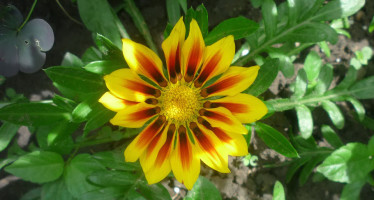Гацания выращивание и уход