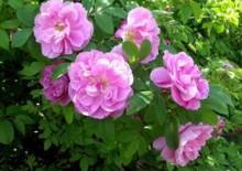 Розы Тереза Багнет