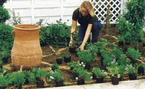 Выращивание из рассады ибериса