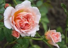 Роза английская Абрахам Дерби
