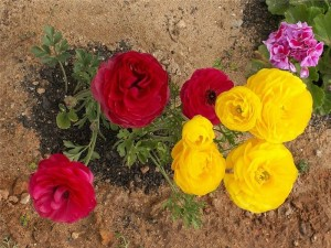 Лютик как украшение сада