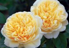 Роза английская Шарлотта