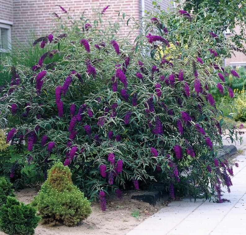 буддлея из семян выращивание и когда зацветает