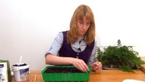 Посев семян космеи
