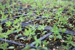 Выращивание рассады люпин