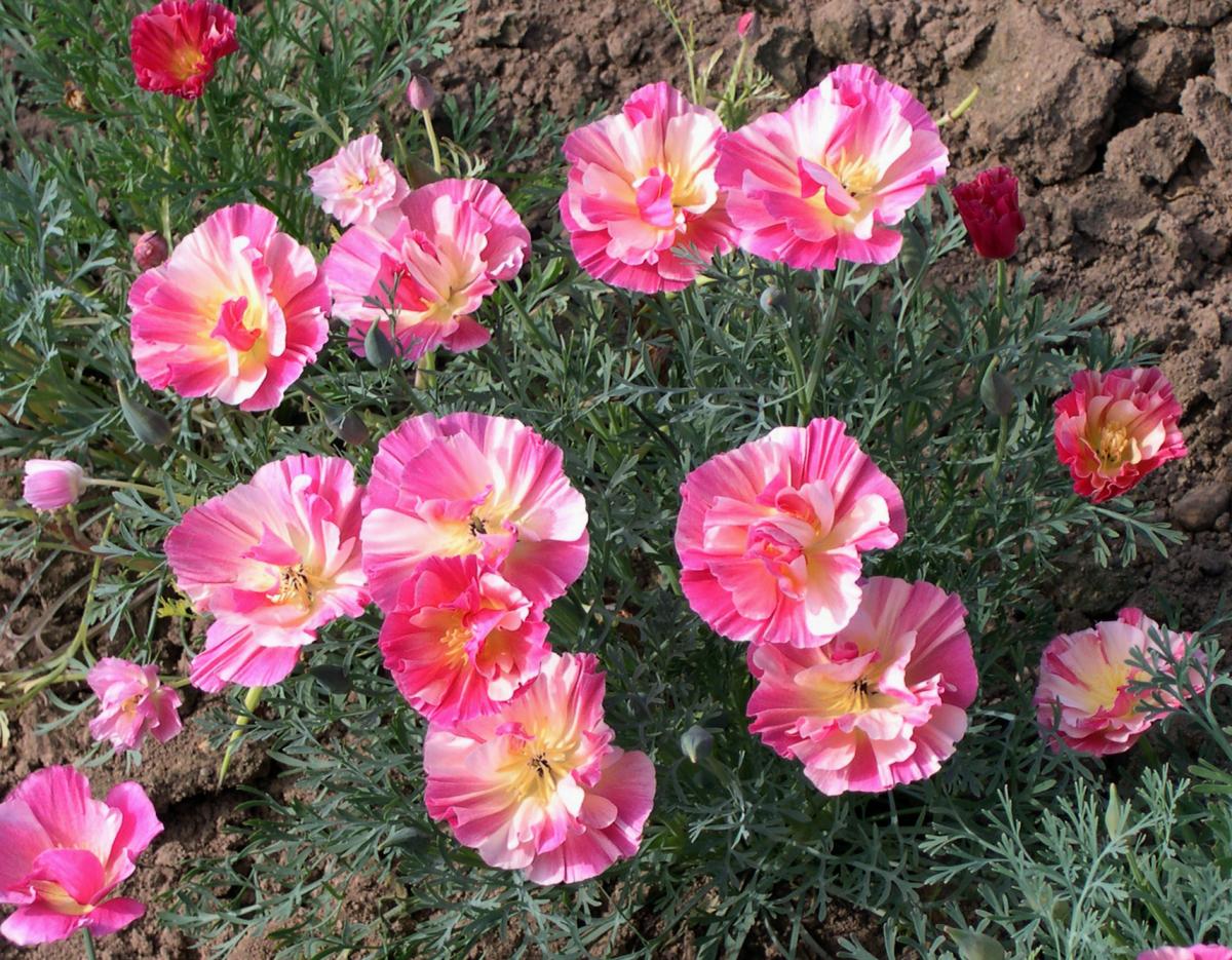 Калифорнийская эшшольция сорт цветы яблони