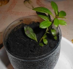 Черенки рододендрона