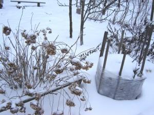Зимовка рододендрона
