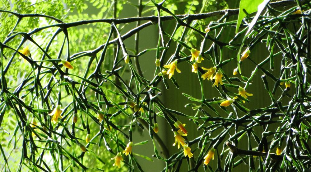 Период цветения Хатиоры