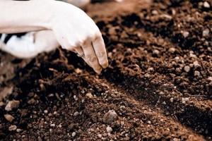 Эшшольция посев семян