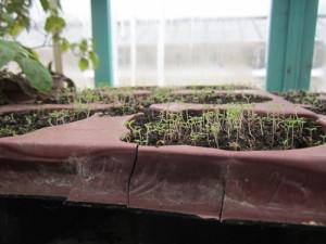 Выращивание портулака из семян