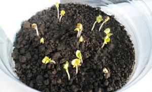 Выращивание армерии из семян