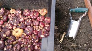 Почва для гладиолусов