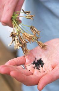 Выращивание аквилегии из семян