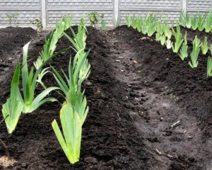 Подготовка почвы для ириса